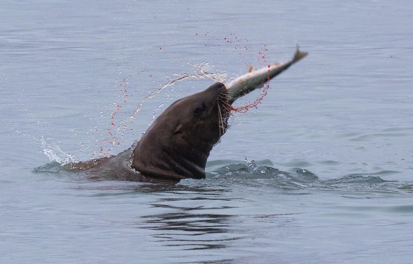 sea lion catching fish
