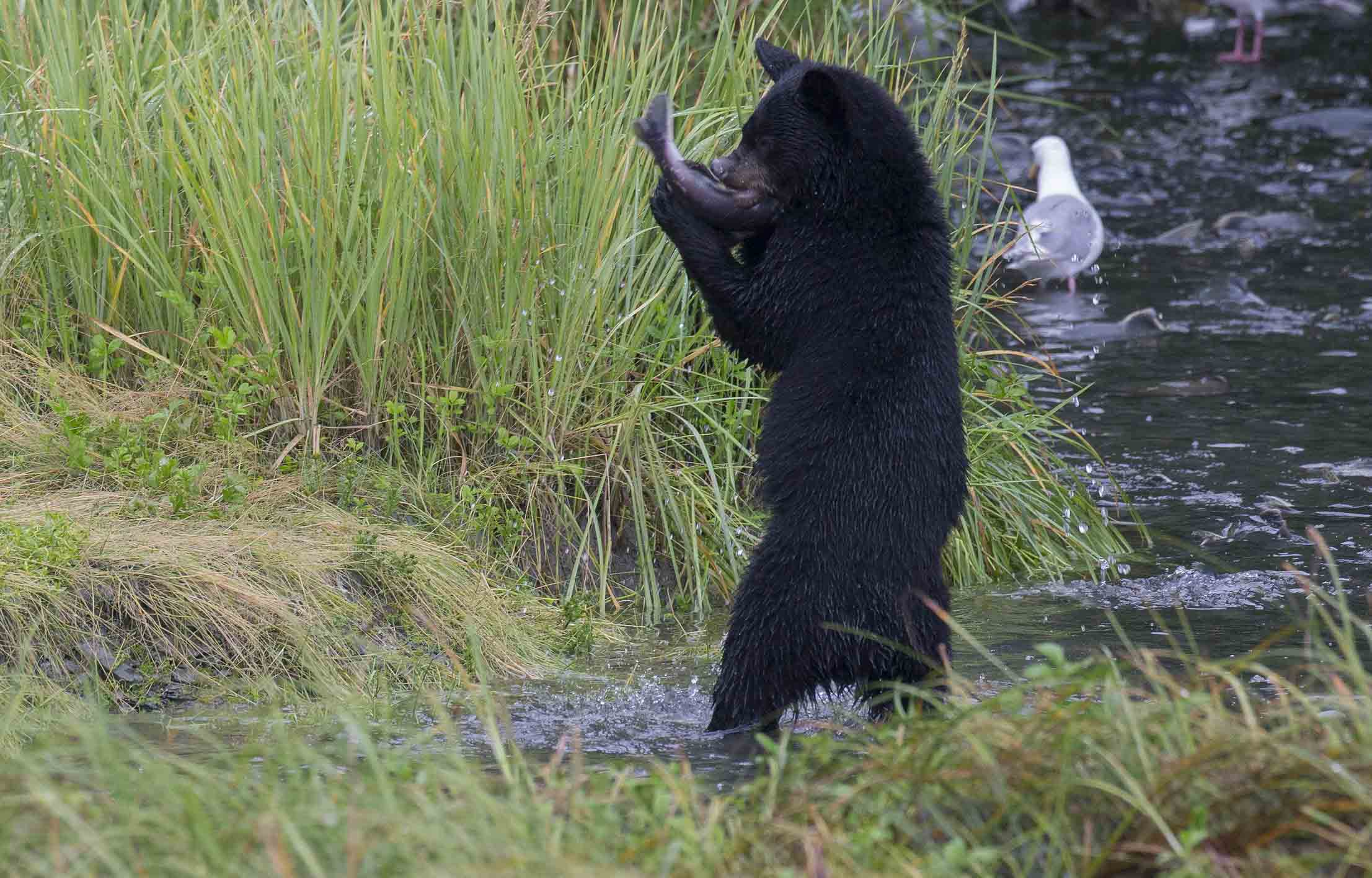 black bear catching fish